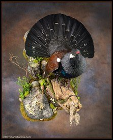 capercaillie_RamseyRussell_222x275